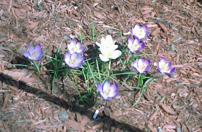 First spring crocuses.