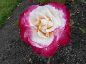 Rose Garden - Wellington
