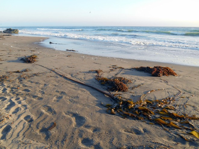 Massive seaweed on San Simeon beach