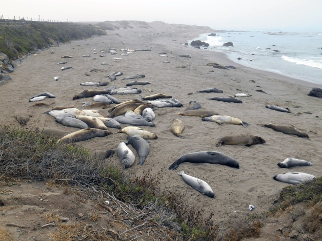 Elephant seals: not dead, resting...
