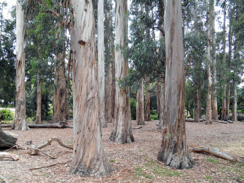 A surprising grove of gum trees at UC Berkeley.
