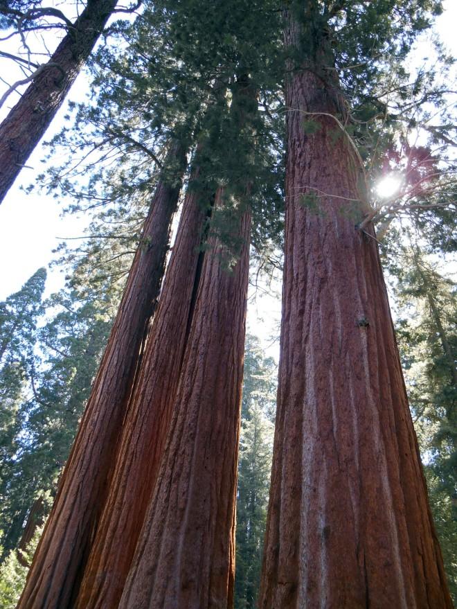Big trees.