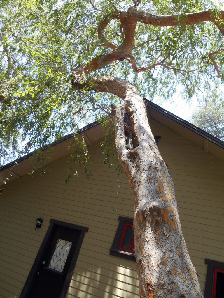 Chinese elm - source of dropped leaves