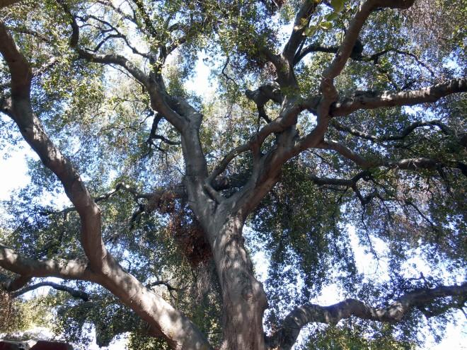 Massive American Oak