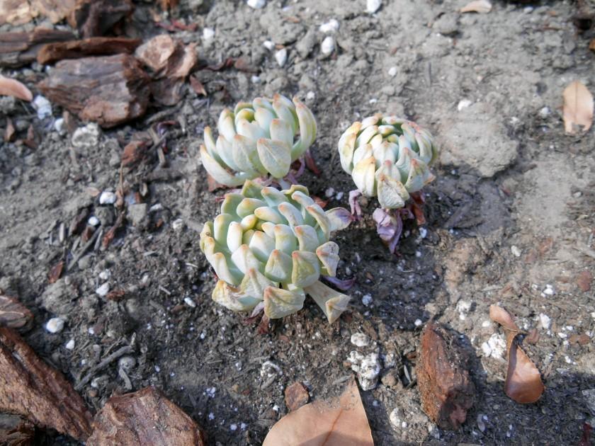 Succulent something
