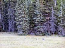 Deer at Kaibab Lodge