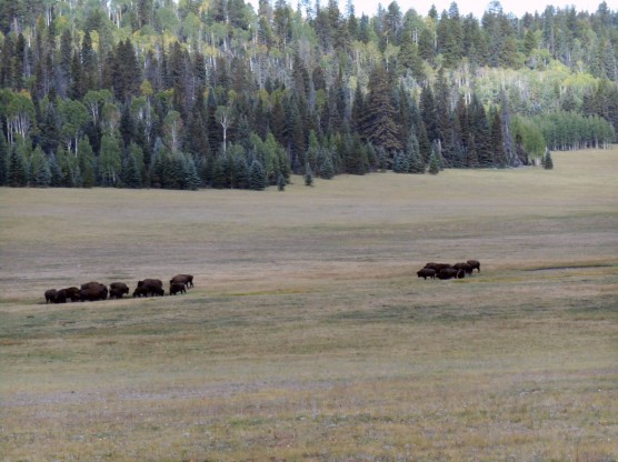 Bison grazing enroute to the North Rim